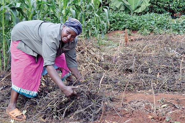 Small scale Kenyan farmer, Jane Manjiku, demonstrates applying mulch to help maintain soil moisture.